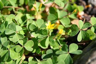Photo: Oxalis corniculé, Mineta xehe (Oxalis corniculata)... plutôt indésirable dans le jardin !