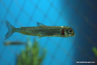 Photo: A cool native Baikal fish