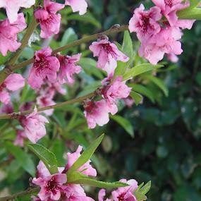 Pink spring by Elenka Smilenova - Flowers Flower Gardens ( macro flowers garden spring )