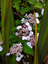 Photo: viburnum sargentii 'Onondaga'