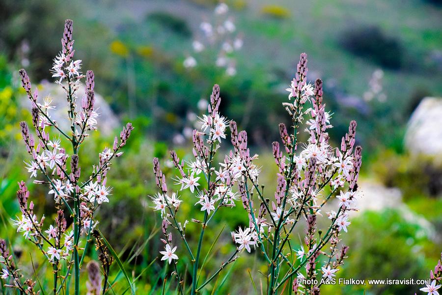 Цветы Израиля. Верхняя Галилея. Экскурсия по ручью Аюн.