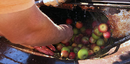 Photo: A large foot press opens the washer, allowing the apples to pour down into a funnel table. Approximately two bushels of apples can be washed at a time without overflowing the machine.