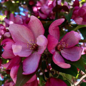 Pink Duo by Debbie Squier-Bernst - Flowers Tree Blossoms (  )
