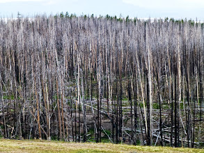 Photo: Some parts of Yellowstone are still recovering from the 1988 forest fires, which burned through 30% of the park. The park recovered quickly, as the ashes brought nutrients and the decreased leaf canopy allowed new trees to grow.