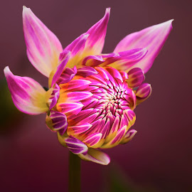 Dahlia 9790~ by Raphael RaCcoon - Flowers Single Flower
