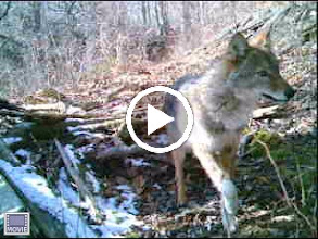 Video: Wiley Coyote - Elizabeth Islands - video, click to play 2/5/2010 - 12:05PM