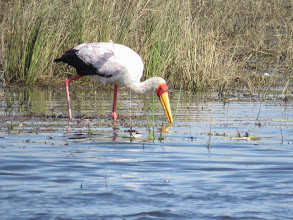 Photo: yellow-billed stork
