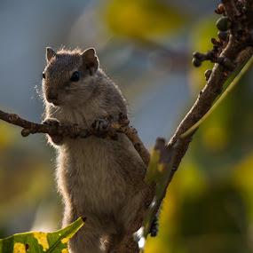 Indian Squirrel by Rajesh Srinivasan - Animals Other ( #rajeshsrinivasan#sinhagad#birds#birding #pune#mumbai#greatnatur )