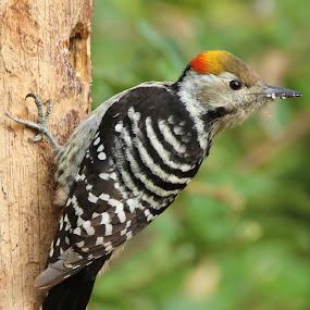 woodpecker  by Vivek Naik - Animals Birds ( sattal, tree, woodpecker,  )