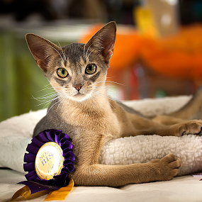 by Aleksander Cierpisz - Animals - Cats Portraits ( champion, cat, nice, show )