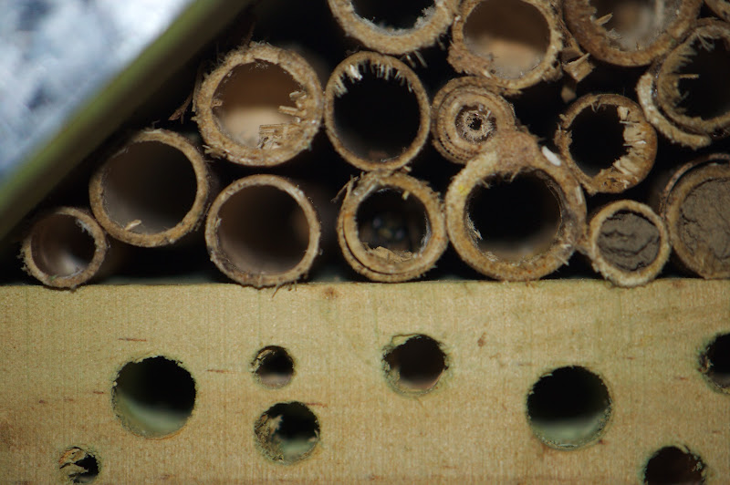 Photo: solitary bee in insect hotel