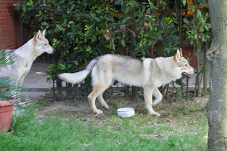 Photo: aisha-antares sibillini wolf