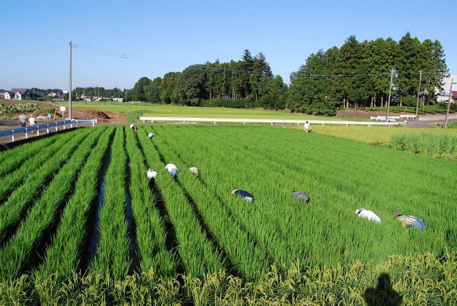 大先輩たちに田んぼの草取りをしてもらっちゃいました