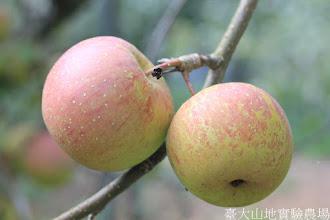Photo: 拍攝地點: 梅峰-蘋果園 拍攝植物: 蘋果(富士) 拍攝日期: 2015_10_05_FY