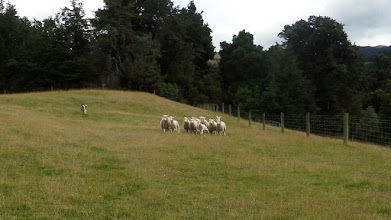 Photo: Our bus stopped at the Toby Hill Sheep Station in the Southern Alps where we saw their dog round up the sheep very efficiently.