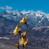 Desert Gold - Superbloom