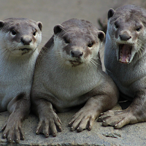 The three wise Otters by Stephanie Veronique - Animals Other Mammals ( lutrinae, mustelids, otters, carnivorous, animal, aquatic, marine )