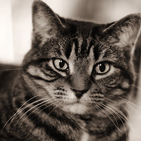 Holly by Amy Sauer - Animals - Cats Portraits