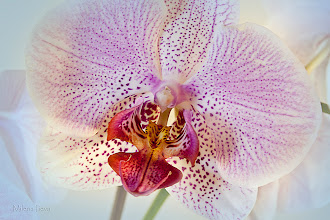Photo: ...brightness...  Have a Happy Friday Everyone...Floral Friday!  This orchid was a gift for my birthday from a friend of mine...I love orchids so of course I photographed it...lots of times :)))) ...soon more different variations of this flower to come, stay tuned....  Contribution to #floralfriday  +FloralFriday by +Tamara Pruessner; #breakfastclub  +Breakfast Club by +Gemma Costa; #canon   #canonusers +Canon Users; #plusphotoextract   #PlusPhotoExtract #photography #potd ;  View larger image and more works from from Purple/Pink Floral Gallery: http://milenailieva.smugmug.com/Galleries/PurplePink/23921477_zBmsRT#!i=2304235079&k=HxCPW98