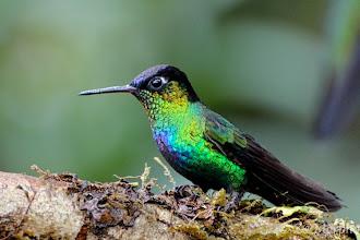 Photo: Fiery-throated Hummingbird @ Paraíso QuetzalLodge, Cerro de la Muerte