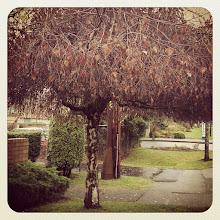 Photo: December tree looks like a hut #intercer #walk #tree #trees #branch #branches #leaf #leaves #street #city #fall #urban #design #town #britishcolumbia #canada #pretty #beautiful #yellow #green #autumn #winter #mapleridge #pittmeadows - via Instagram, http://instagr.am/p/TBGAi0pfux/