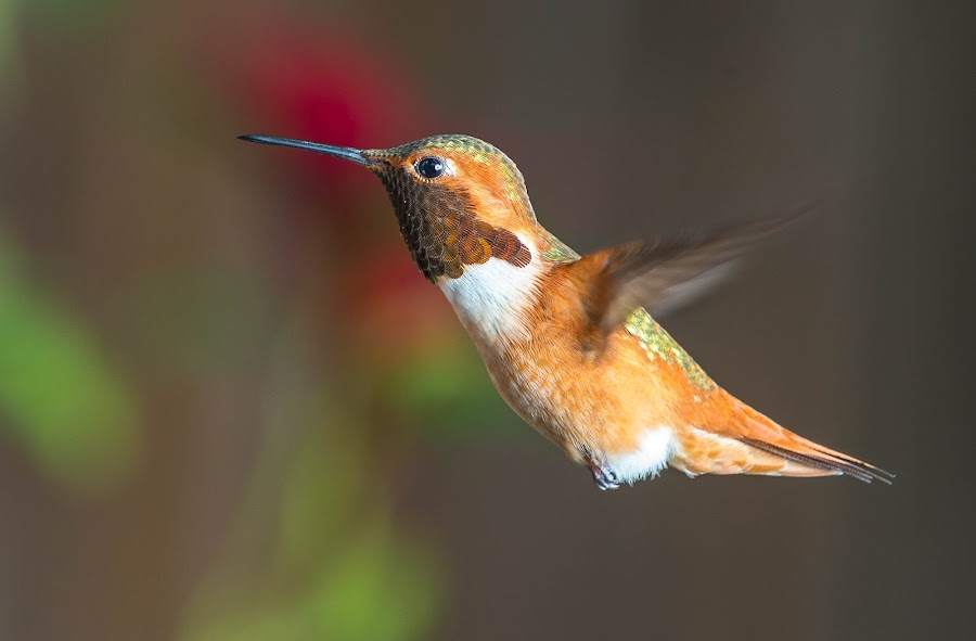 Hummingbird by Mike Zampelli - Animals Birds ( flying, colorful, hummingbird, backyard, hummer,  )
