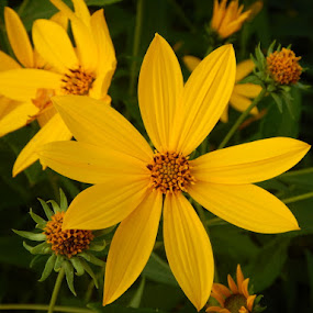 Yellow Sunshine by Judy Soper - Flowers Flowers in the Wild ( wild, petals, yellow, buds, flower )