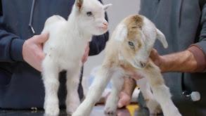 Don't Rock the Goat thumbnail