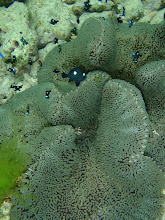 Photo: Dascyllus trimaculatus (Juvenile Domino Damsel), Stichodactyla haddoni (Haddon's Carpet Anemone) Siquijor Island, Philippines