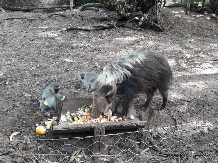 Mube the bushpig and his mates will have a guaranteed meal for some time thanks to food donations made to the Seaview Predator Park