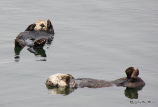 Photo: (Year 3) Day 20 - Otters Floating #5