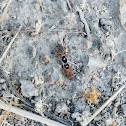 Small milkweed bug