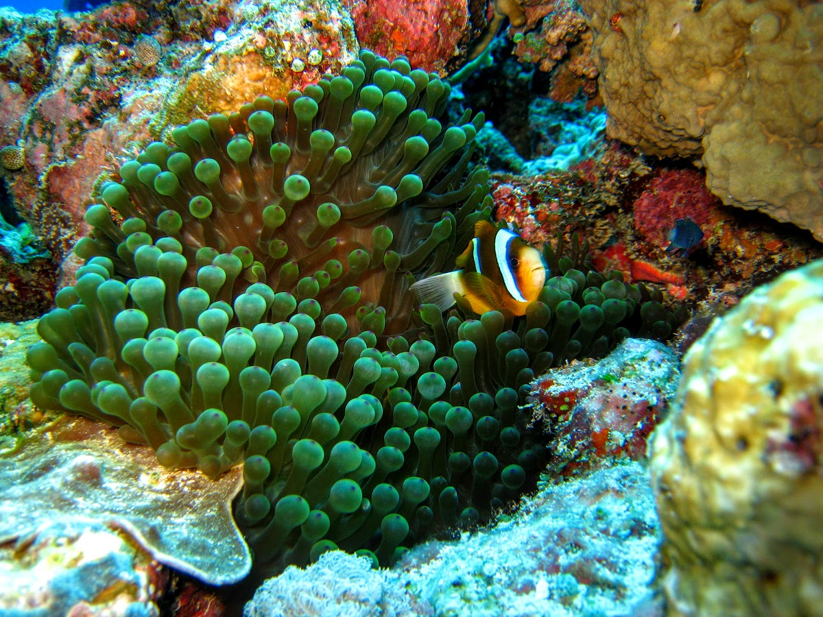 Anemonefish hiding within tentacles