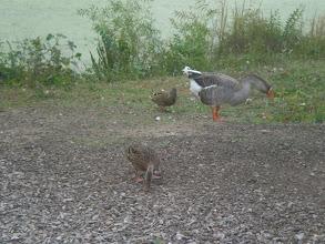 Photo: ducks outside