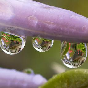 gotas con reflejos by Lourdes Ortega Poza - Nature Up Close Water ( gotas, campanilla, flores, naturaleza, reflejos, primavera, morada )