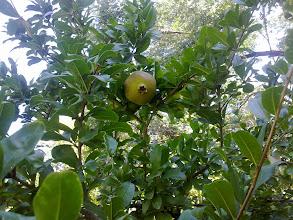 Photo: Fruto del granado (granada)