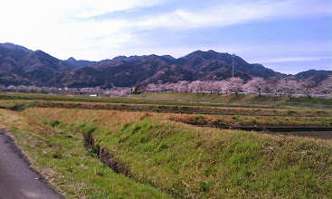 Photo: 松阪インター出入口の桜並木
