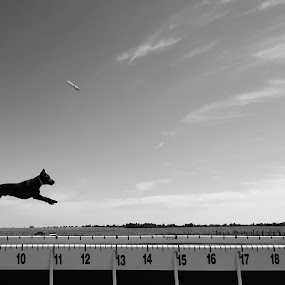 Fetch by Chris Couper - Animals - Dogs Playing ( dock dogs, b&w, black and white, freeze, dog, jump )
