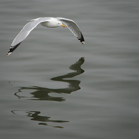Skimming by Jon Marshall - Animals Birds ( gull, nikon )