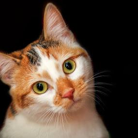 My adorable Calico cat by Amanda Blom - Animals - Cats Portraits ( calico, cat, portrait, animal,  )