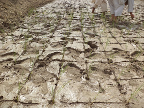 Photo: Farmers preparing the SRI plot at Pul-e-Khishti, Ali Abad, Afghanistan. [ Photo Courtesy of Ali Muhammad Ramzi, 2013]