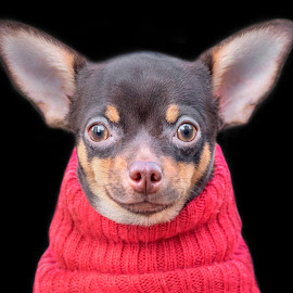 Yoda by Adrian Campfield - Animals - Dogs Portraits ( look, animals, stare, funny, dog portrait, fun, eyes, hairy, red, amusing, pets, haur, comical, ears, head, nose,  )