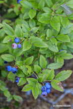 Photo: Blueberry bush at Woodford State Park by Bob Ricketson