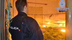 Un agente observa uno de los cultivos de marihuana.