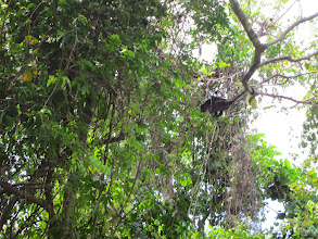 Photo: Howler monkey swinging to another tree