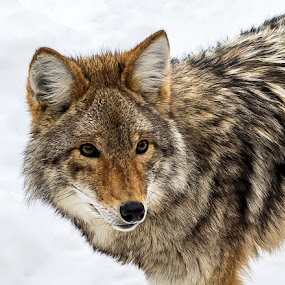 Coyote by Jacques Lamarche - Animals Other Mammals