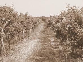 Photo: Day 75 - Grape Vines