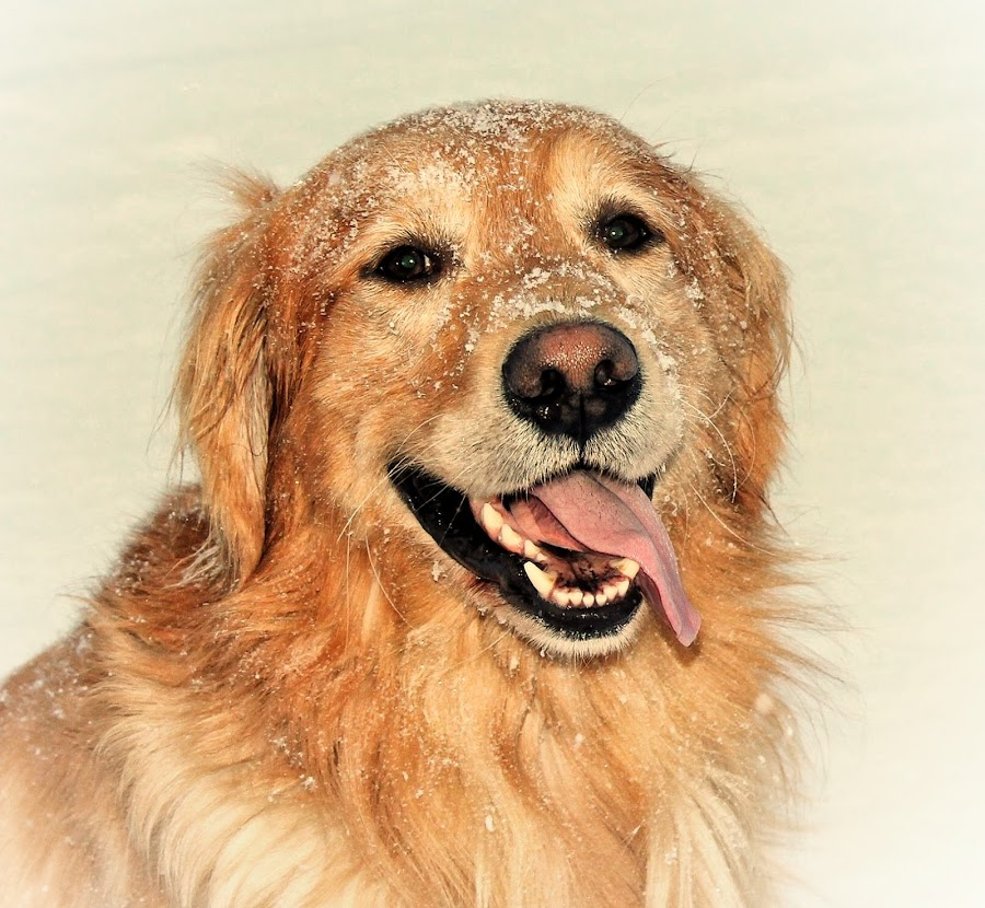 You Make Me Smile by Patricia Phillips - Animals - Dogs Portraits ( dogs retrievers golden snow happy )