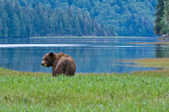 Photo: Grizzly grazing in the Khutzeymateen estuary