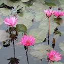 Red Indian water lily  (कुमुद)